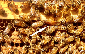 Managing Russian Bees 41